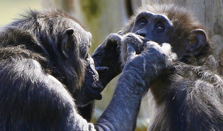Two chimpanzee's groom each other as they sit together in the Budongo Trail enclosure at Edinburgh Zoo