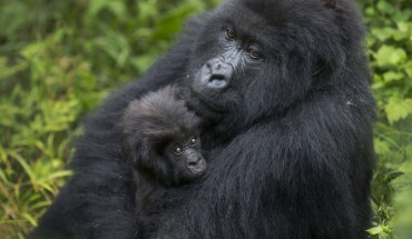 Mother_Gorilla