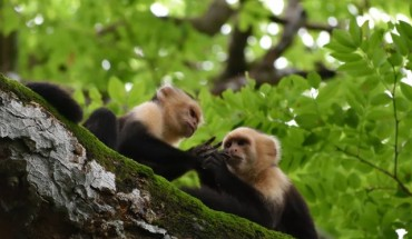 cooperation capuchin monkeys In a nut shell we get to observe reaction and response of two capuchin monkey when they receive different reward for same type of work  why these vegetarian monkeys have sharp predator teeth.